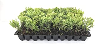 Sea Green Juniper - 20 Live Plants - Juniperus Chinensis - Hardy Evergreen Privacy Screen