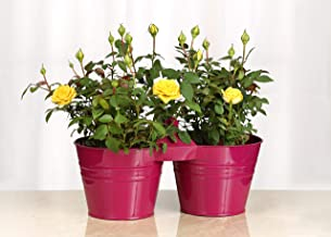 Live Mini Yellow Rose Bush with Pink Pail Container - 4 Inch Indoor Plant