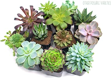 Succulent Plants (12 Pack) Fully Rooted in Planter Pots with Soil   Real Live Potted Succulents / Unique Indoor Cactus Decor