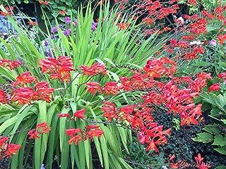 Crocosmia: Bright Fire Red (15 Live Plants)