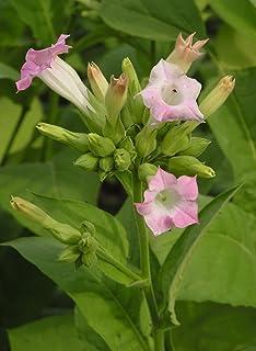 Nicotina tabacum (tabaco virgen) - 500 semillas (semillas de tabaco) -