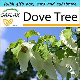 SAFLAX - Gift Set - Dove Tree - 1 seeds - Davidia involucrata