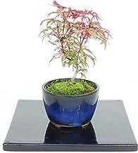 清香園 2回紅葉が楽しめる涼し気な京の糸、モミジの盆栽