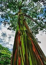 Amazon Com Rainbow Eucalyptus Tree