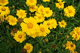 HOT - Coreopsis Baby Gold - Coreopsis lanceolata - 150 Seeds - Dwarf Perennial Flower