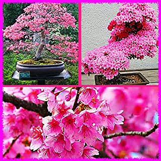Japanese Sakura (Prunus sargentii) Flowering Cherry Bonsai Tree