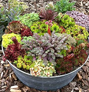 HENS & CHICKS ~Mixed Colors~