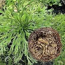 R/ésurrection Plante Jericho Chic Fleur Herbes Rose de J/éricho R/ésurrection Fern Magique Hydrophile Rose de J/éricho Dinosaur Usine