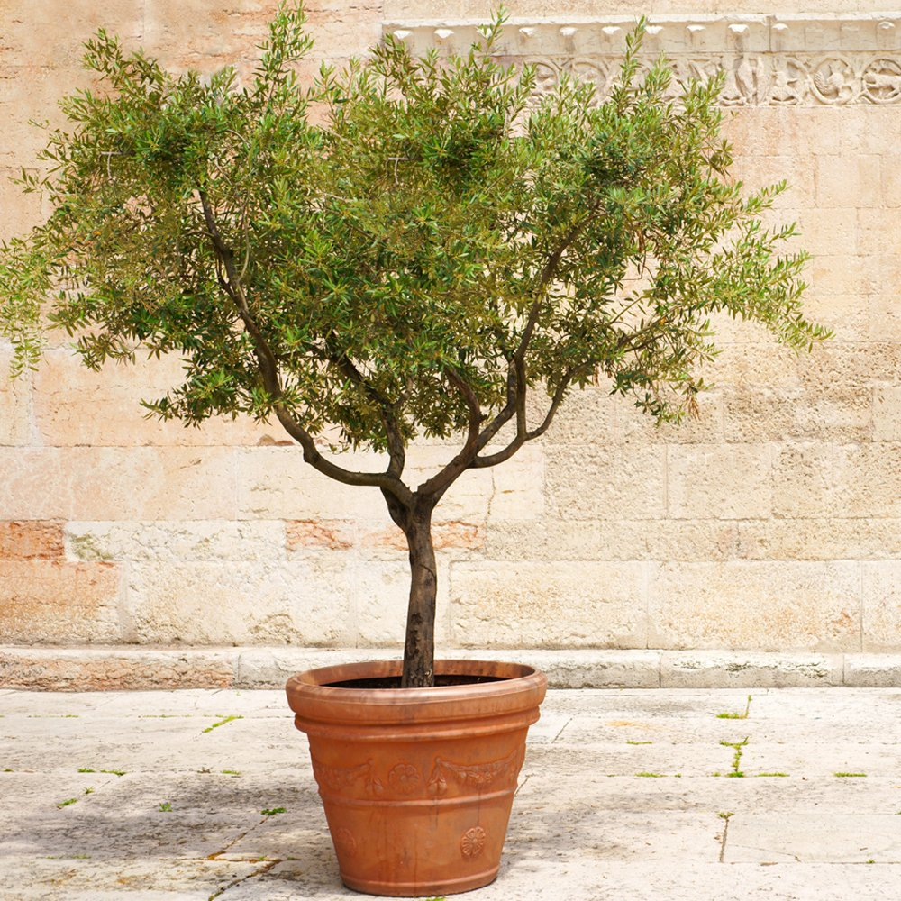 Amazon Com Brighter Blooms Arbequina Olive Tree 2 3 Feet Tall Get Olives 1st Year With Large Olive Trees Indoor Patio Live Olive Trees No Shipping To Az Garden Outdoor