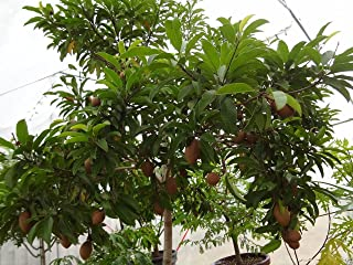 5 Seeds - Manilkara zapota Tree Seeds,Jamaican Naseberry SAPODILLA,Grow Indoor/Outdoor