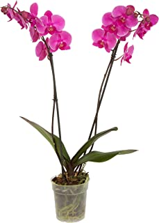 Color Orchids Live Blooming Double Stem Phalaenopsis Orchid Plant in Grow Pot, 20