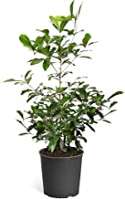 Brighter Blooms Miracle Berry Plant - New Berries Make Any Food Taste Sweet | One Berry, Blocks Sour Tastes | Patio and Indoor Plant | No Shipping to AZ