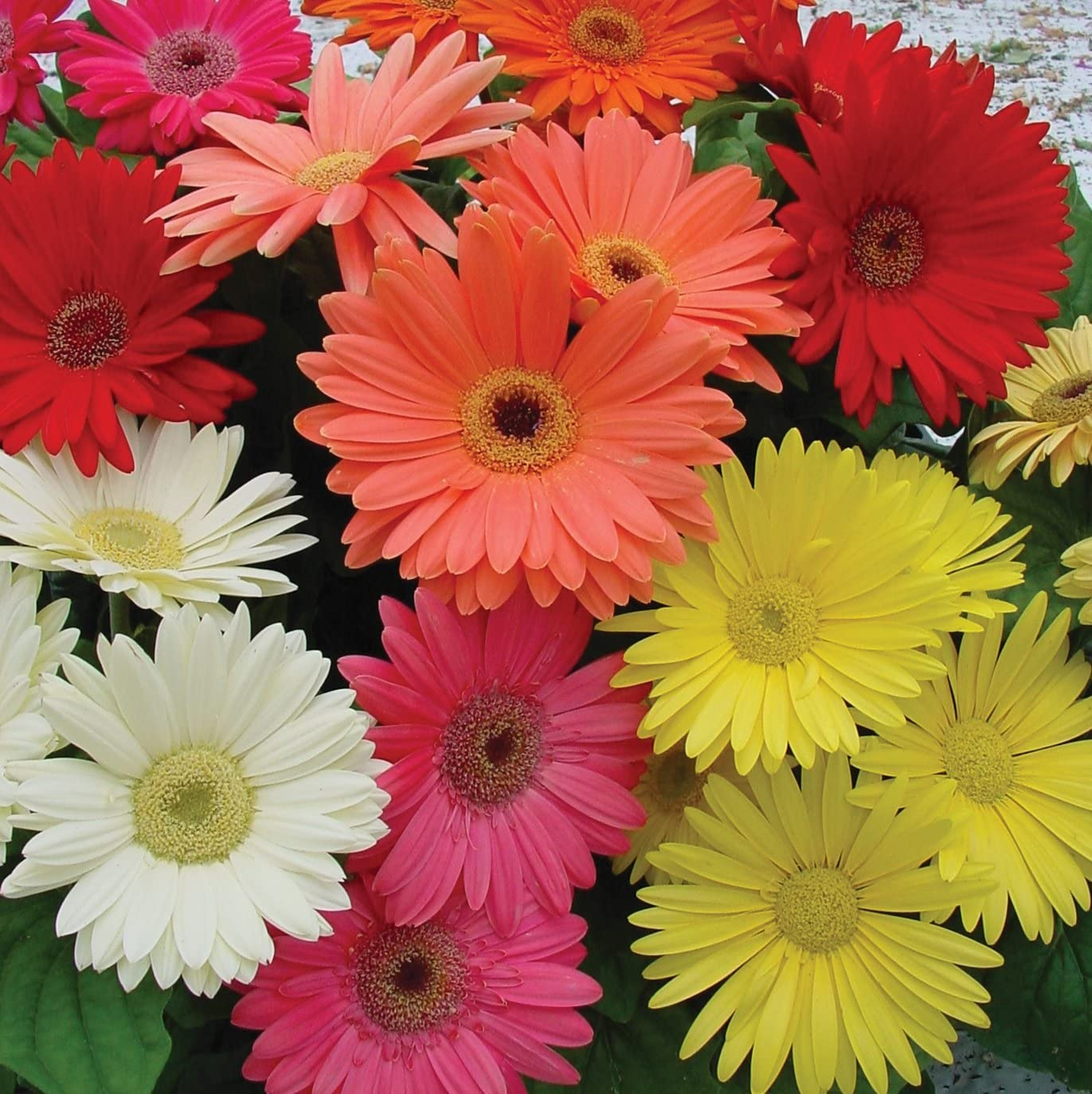 Outsidepride Gerbera Daisy Flower Seed Plant Mix   21 Seeds