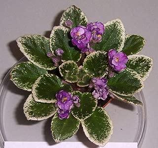 African Violet Grape Treat Live Plant in Pot Miniature