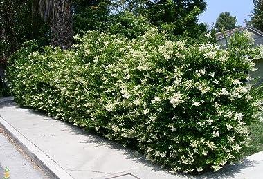 Ligustrum Waxleaf Privet - 30 Live Plants - Evergreen Privacy Hedge Shrub