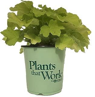 Plants That Work Citronelle Coral Bells - Heuchera Citronelle - 19cm