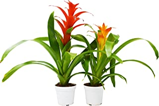 2 Guzmania Bromeliads (2 Different Colors) - Live House Plant - 1FT Tall - FREE Care Guide - 4