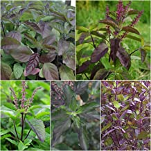 Krishna TULSI 50+ Seeds Dark Purple Indian Holy Basil Sacred Ocimum tenuiflorum