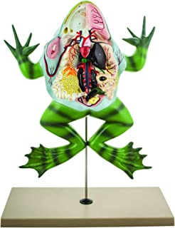 Eisco Labs Frog Dissection Model (Bull Frog) on Stand