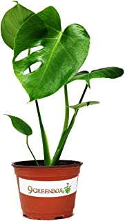 "JM BAMBOO Split Leaf Philodendron 6"" Pot - Monstera - Edible Fruit Tastes Like Pineapple"