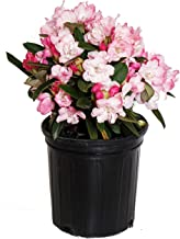 Rhododendron 'Mardi Gras' (Rhododendron) Evergreen, pale pink flowers, #2 - Size Container
