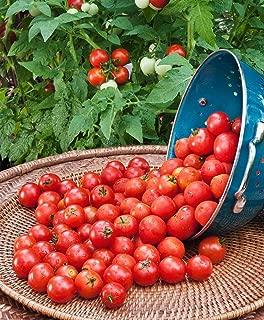 husky red tomato