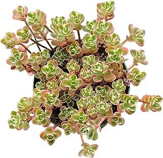 Sedum Spurium Tricolor (2 inch) bKE52