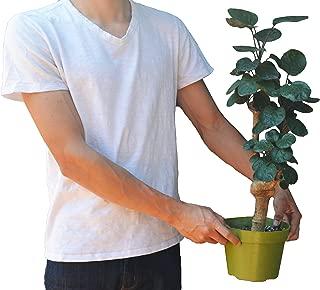 aralia fabian stump