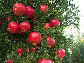 Wonderful Pomegranate Live Plant Rooted Potted Pollinated 5-8 Inch Tall Granada Easy to Grow Ready for Planting (3 Plant Pack)