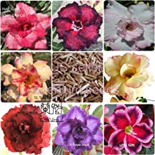 MULTI-PETAL DESERT ROSE ADENIUM SEEDS mixed colors 100 pcs by LANKUI