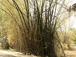 250 Seeds of Bambusa bambos Also Known as Giant Thorny Bamboo or Indian Thorny Bamboo Seeds.(250+Hand Picked Seeds as Shown in 2nd.Image Will be Shipped)