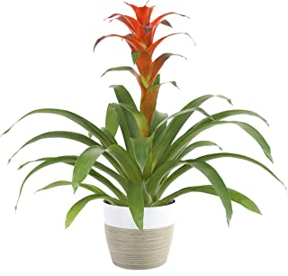 Costa Farms Live Indoor Blooming Bromeliad in White-Natural Decor Planter, 20-Inches Tall..