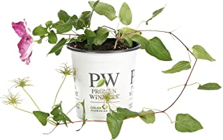 Viva Polonia (Clematis) Live Shrub,Red Flowers with a White Star, 4.5 in. Quart