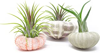 Air Plant Sea Urchin Kit (4 Variety Pack) - Shell Containers / Holders for Live Tillandsia | Jellyfish Stand / Indoor Home Decor by Plants for Pets