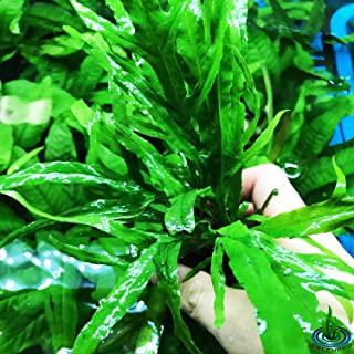 Greenpro Java Fern Trident Microsorum Pteropus Live Aquarium Plants Decoration Narrow Leaf