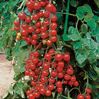 HIGH Germination Seeds ONLY NOT Plants: Tomato 'Sun Cherry Premium' / Super Sweet / 10 Seeds