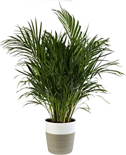 dwarf palms for pots