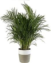 date plant in pot