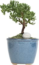 Costa Farms Mini Bonsai Ficus Juniper Live Indoor Tree with Inspirational Message in Blue Home Décor-Ready Ceramic Planter, Great Gift