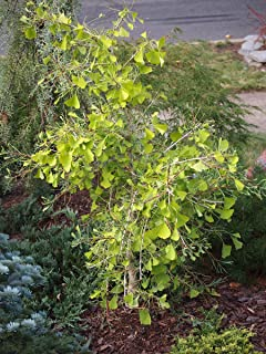Dwarf Weeping Ginkgo Biloba 'Weeping Wonder '2 - Year Tree