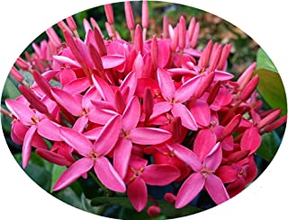 Nora Grant Tropical Ixora Live Plant Plant Bright Pink Flowers Starter Size 4 Inch Pot Emeralds TM