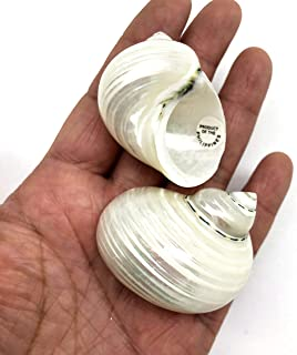 PEPPERLONELY 5PC Pearlized Silver Mouth Turbo, Hermit Crab Sea Shells, 1-1/2 Inch ~ 2 Inch