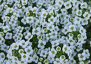 1,000+ Alyssum Seeds- Carpet of Snow- 2019 Seeds 95% Germination