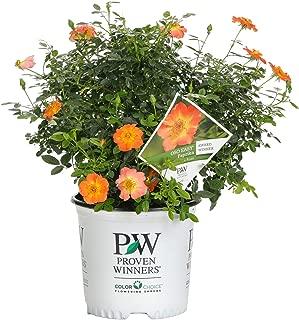 1 Gal. Oso Easy Paprika Rose (Rosa) Live Shrub, Orange Flowers