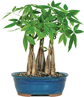 Brussel's Live Money Tree Grove Indoor Bonsai - 4 Years Old; 10