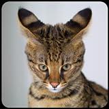 猫の品種のトリビア クイズ
