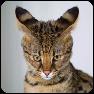 Name That Cat Breed