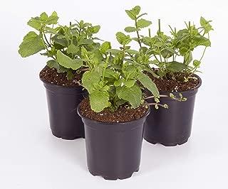 The Three Company Live Plant Aromatic Herb 4