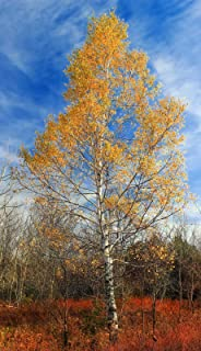 f93ee15d485 Amazon.com  Birch - Trees   Plants