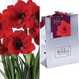Van Zyverden 87260 Amaryllis-Ferrari Silver Gift Bag Flower Bulbs, 28/30 cm, Red